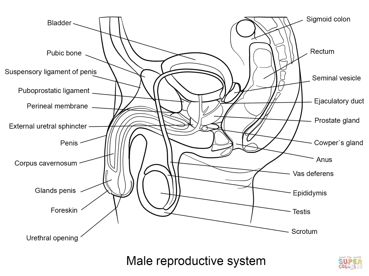 anatomy coloring pages - male reproductive organ black and white male reproductive system coloring page free printable coloring pages