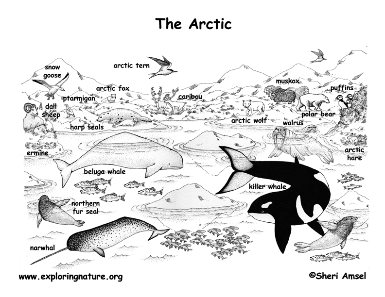 asia coloring page - arctic animals labeled