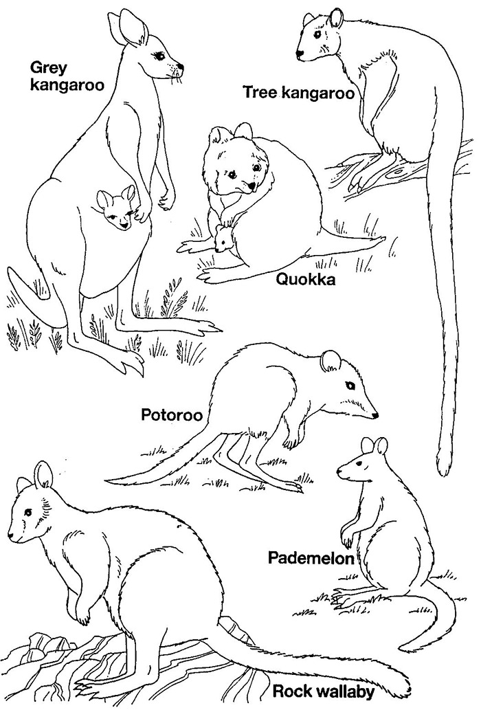 australia coloring pages - australian animal template