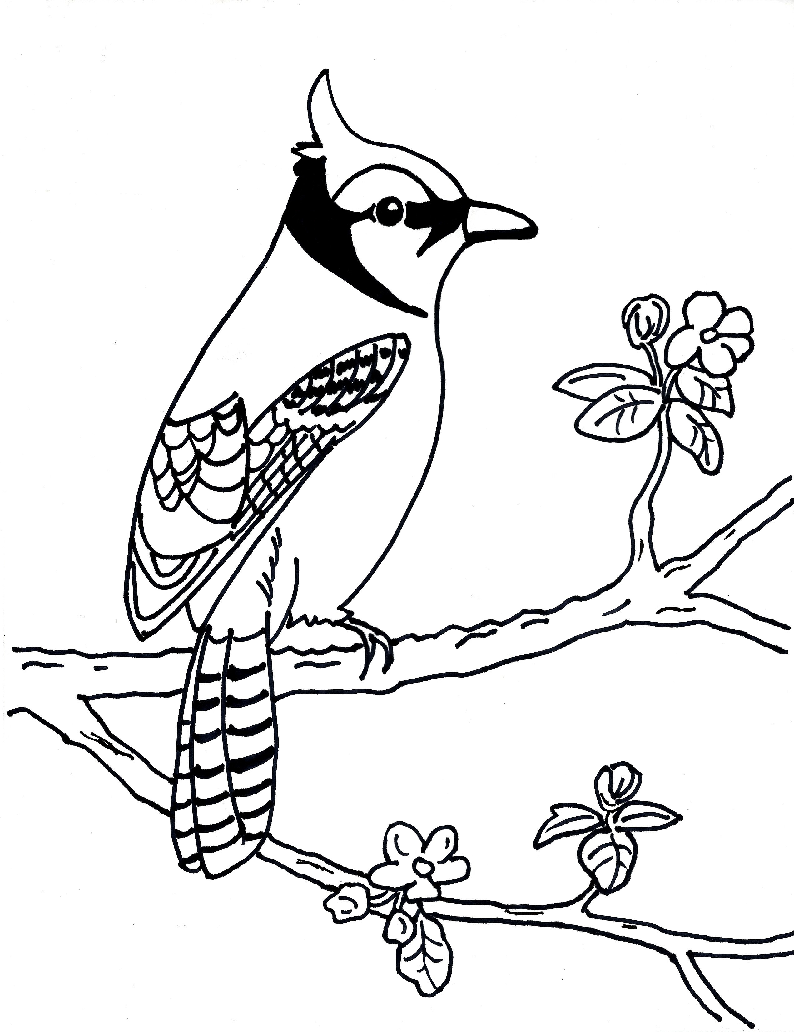 blue jay coloring page - blue jay sketch templates