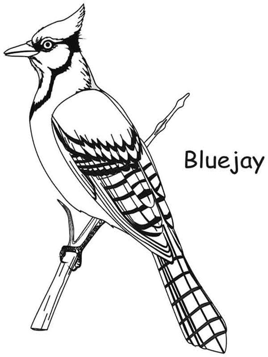 blue jay coloring page - blue jays coloring pages of flying sketch templates
