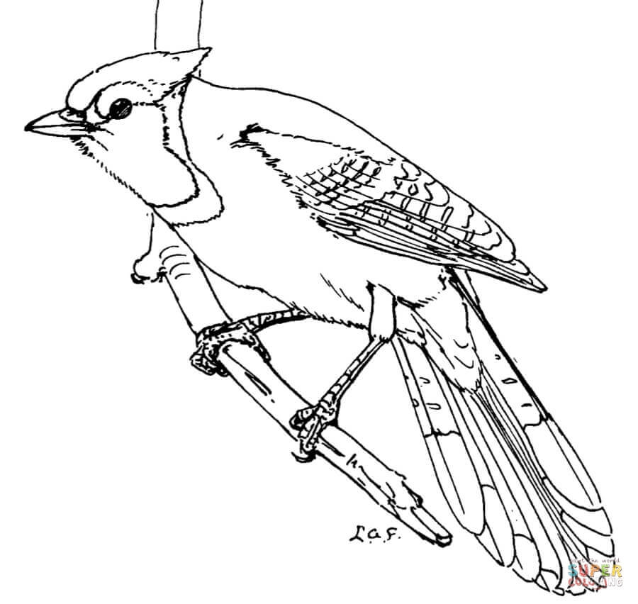blue jay coloring page - blue jays
