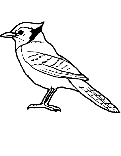 blue jay coloring page - blue jay coloring page