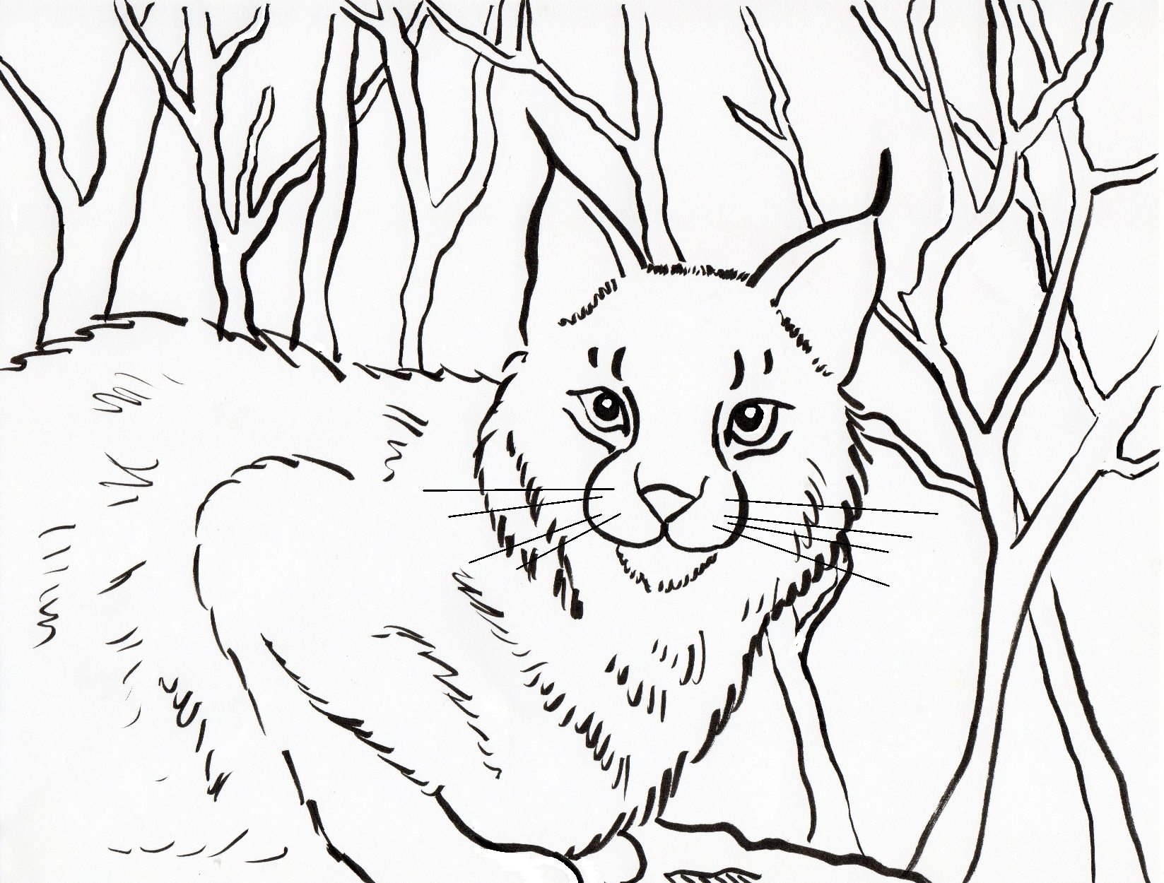 bobcat coloring pages - coloring page