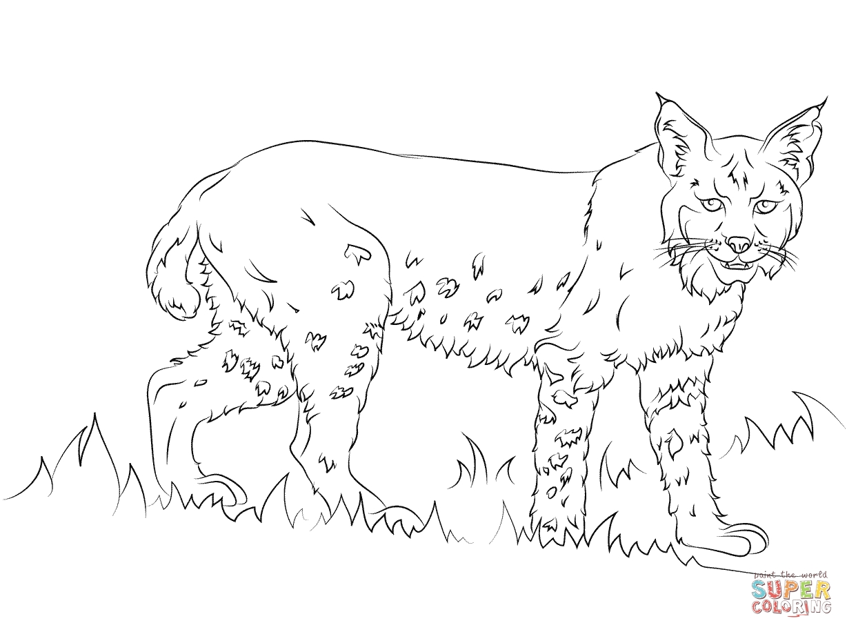 bobcat coloring pages - 2224