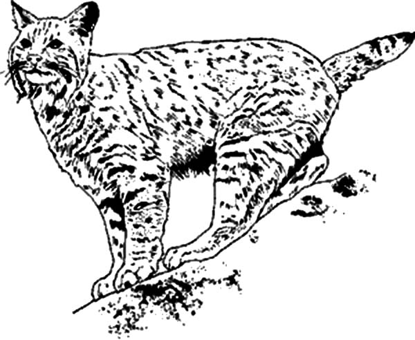 bobcat coloring pages - 1
