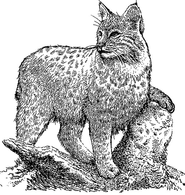 Bobcat Coloring Pages - Bobcat Still Silence Coloring Pages Bobcat Still Silence