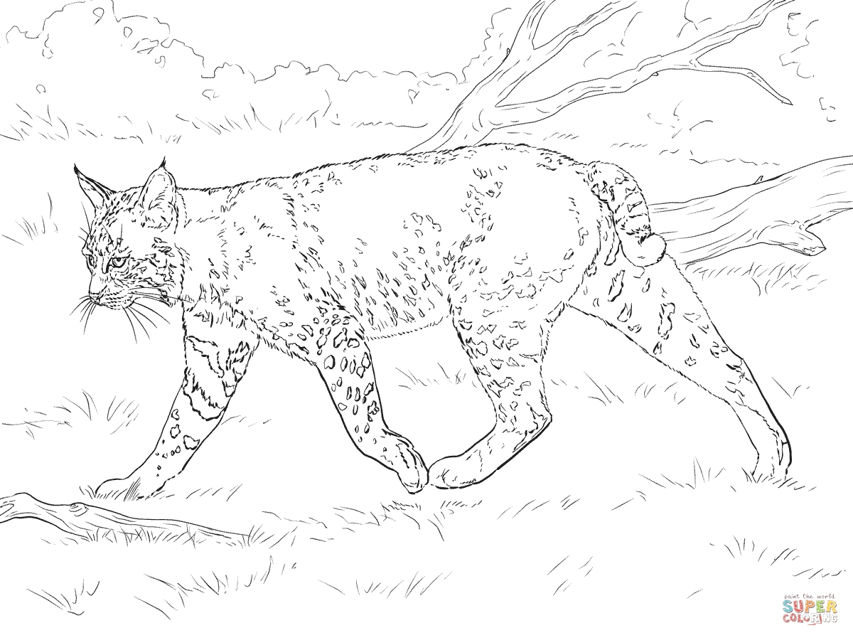bobcat coloring pages - realistic bobcat