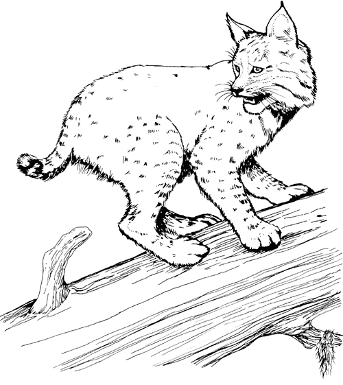 bobcat coloring pages - color bobcattml