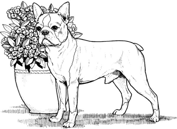 boston terrier coloring pages - background coloring boston terrier coloring page for boston terrier coloring page free boston terrier online coloring
