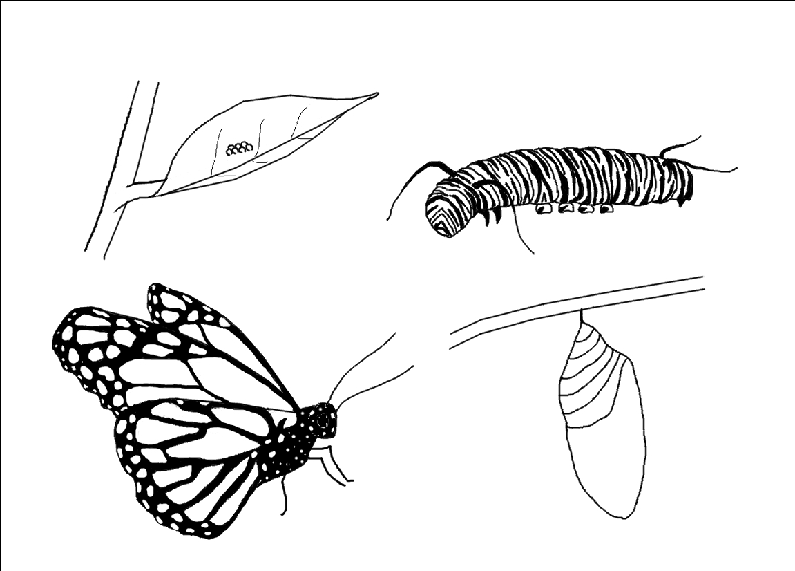 butterfly life cycle coloring page - life cycle coloring pages