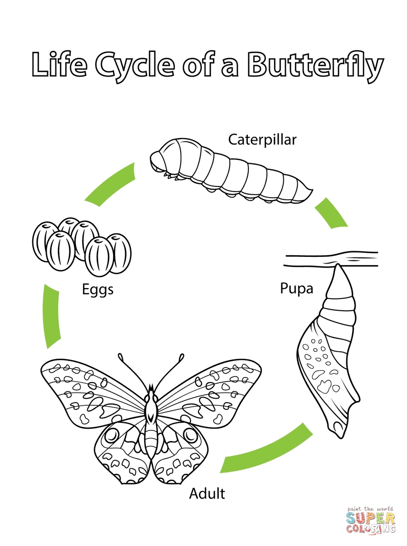 butterfly life cycle coloring page - life cycle of a butterfly