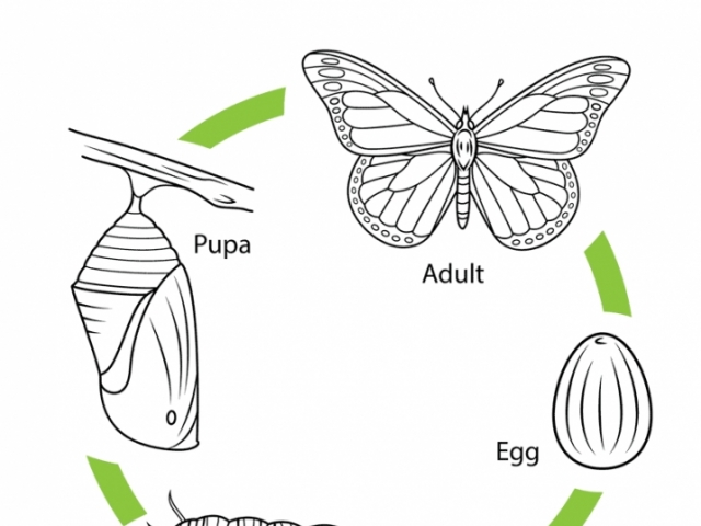 25 butterfly Life Cycle Coloring Page Pictures | FREE COLORING PAGES ...