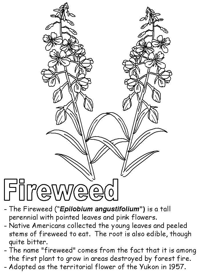 canada flag coloring page - fireweed2