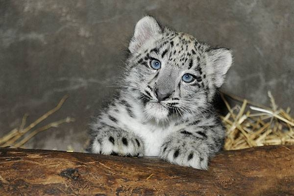 chicago cubs coloring pages - cute baby snow leopard born chicago zoo