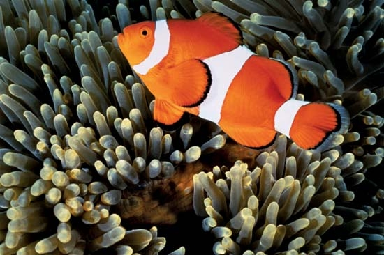clown fish coloring page - The false clown fish looks very similar to the true