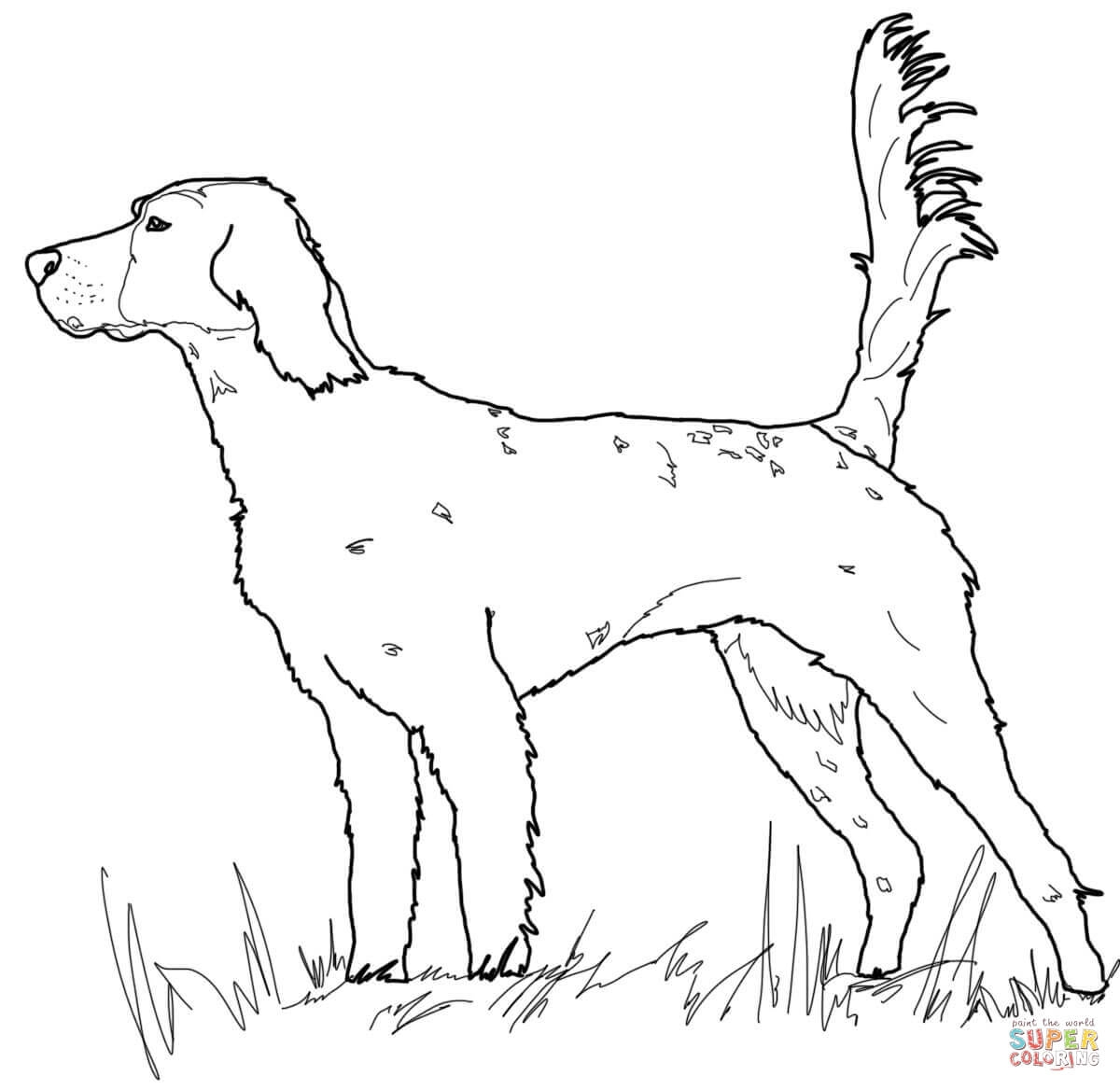 coyote coloring page - english setter