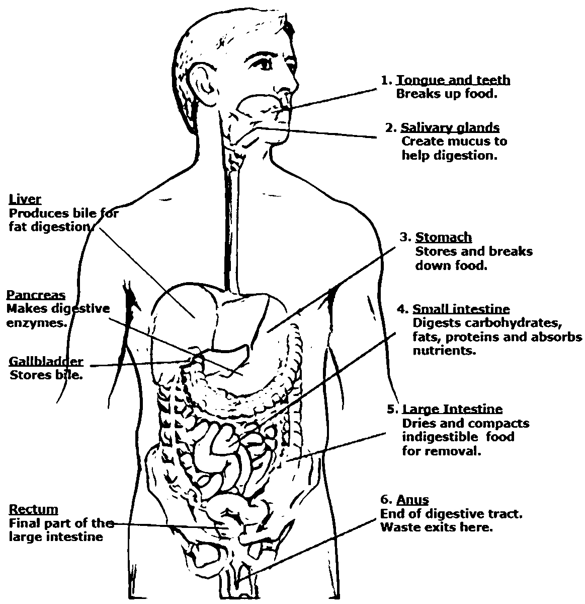 21 Digestive System Coloring Page Collections | FREE COLORING PAGES ...