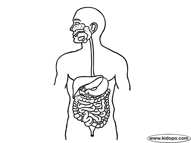 digestive system coloring page - digestive system