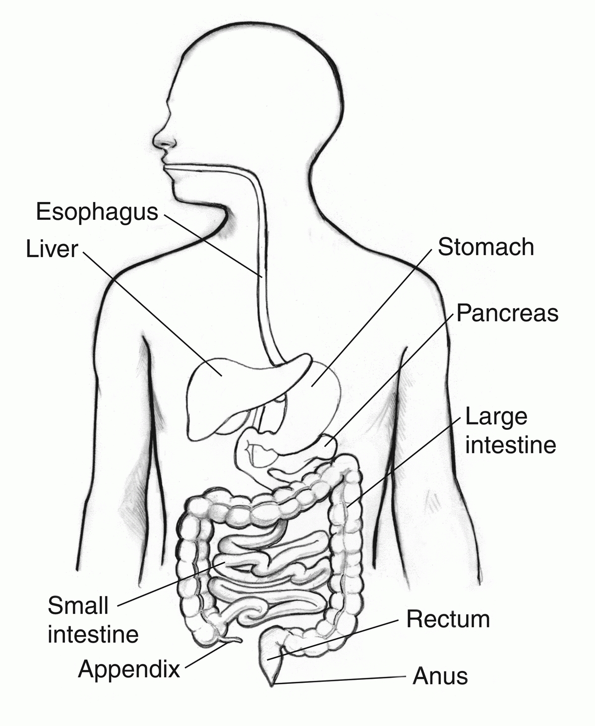 digestive system coloring page - digestive system coloring page