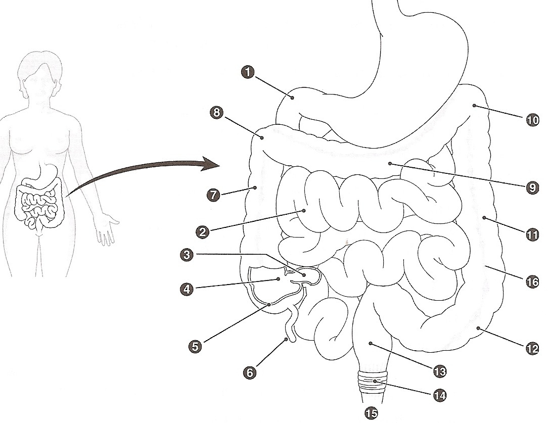 digestive system coloring page - q=human digestive system