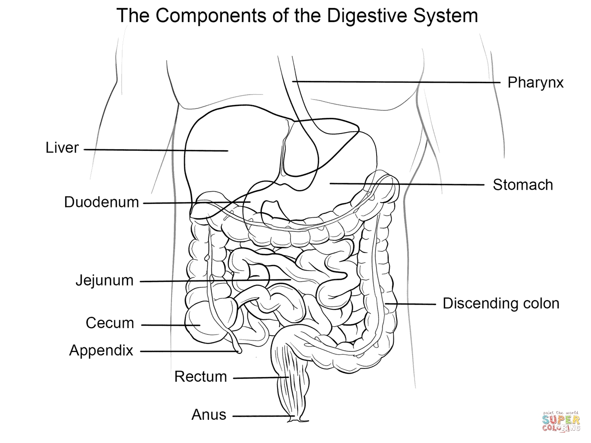 digestive system coloring page - human digestive system