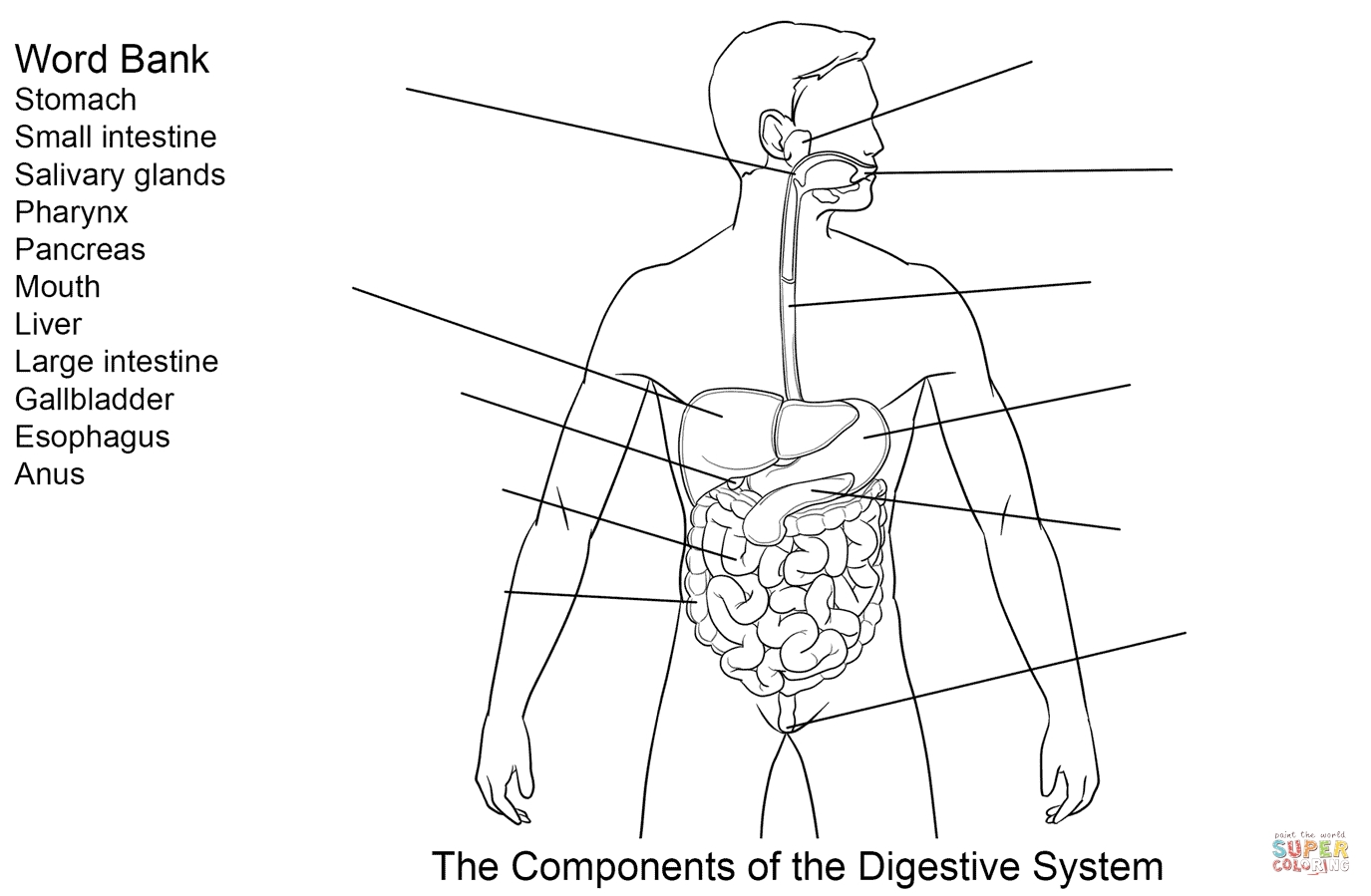digestive system coloring page - ponents of digestive system worksheet