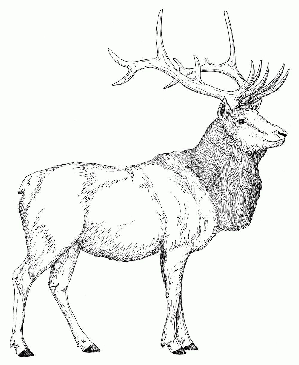 25 Elk Coloring Pages Selection | FREE COLORING PAGES - Part 2