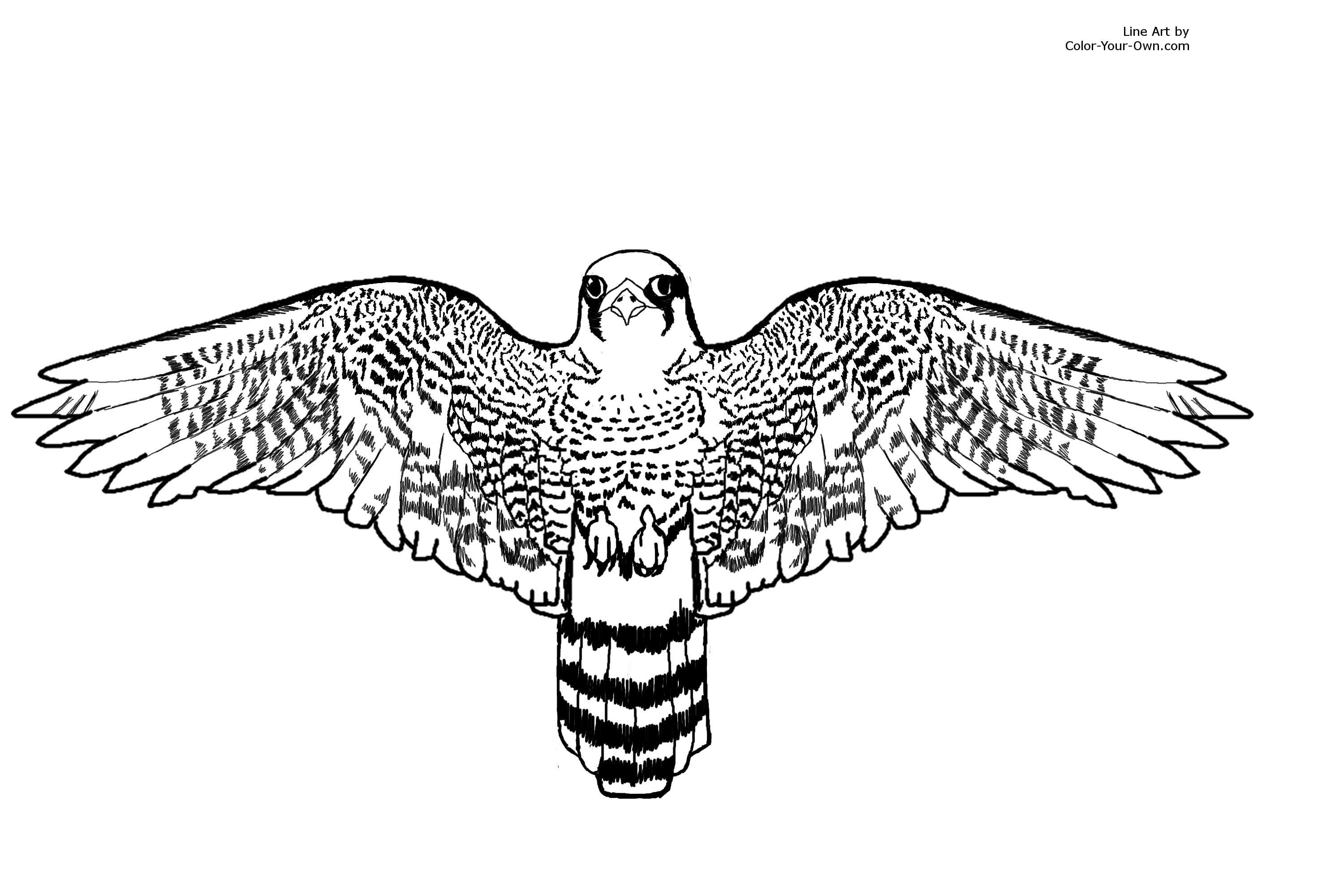 falcon coloring pages - bird peregrine falcon