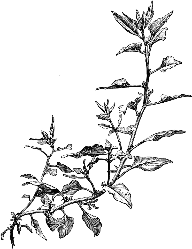 floral coloring pages - nz spinach