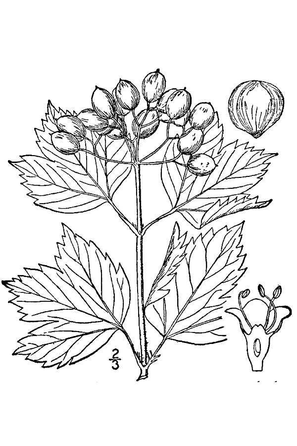flower garden coloring pages - Highbush or American Cranberry bush Viburnum opulus L USDA Drawing