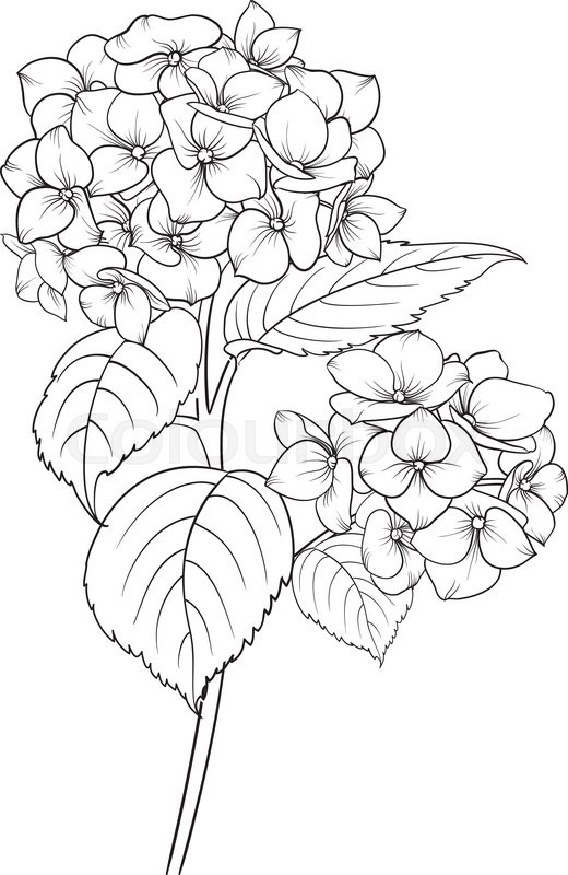 flower vase coloring pages - blooming flower hydrangea vector