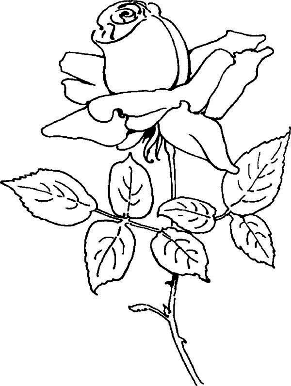 free flower coloring pages - blooming rose coloring page