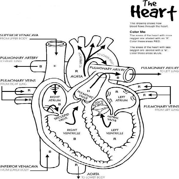 free printable human anatomy coloring pages - q=heart anatomy