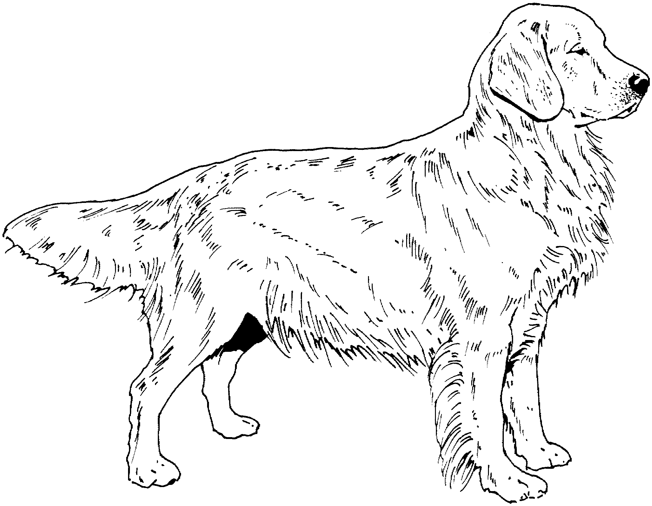 golden retriever coloring page - dog coloring pages