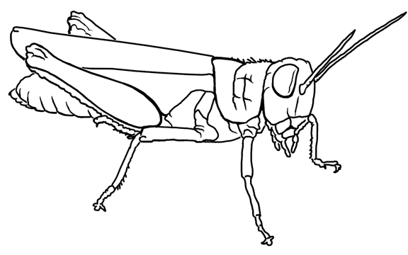 27 Grasshopper Coloring Page Images