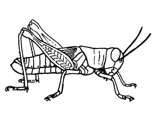 grasshopper coloring page - free printable grasshopper coloring pages to print