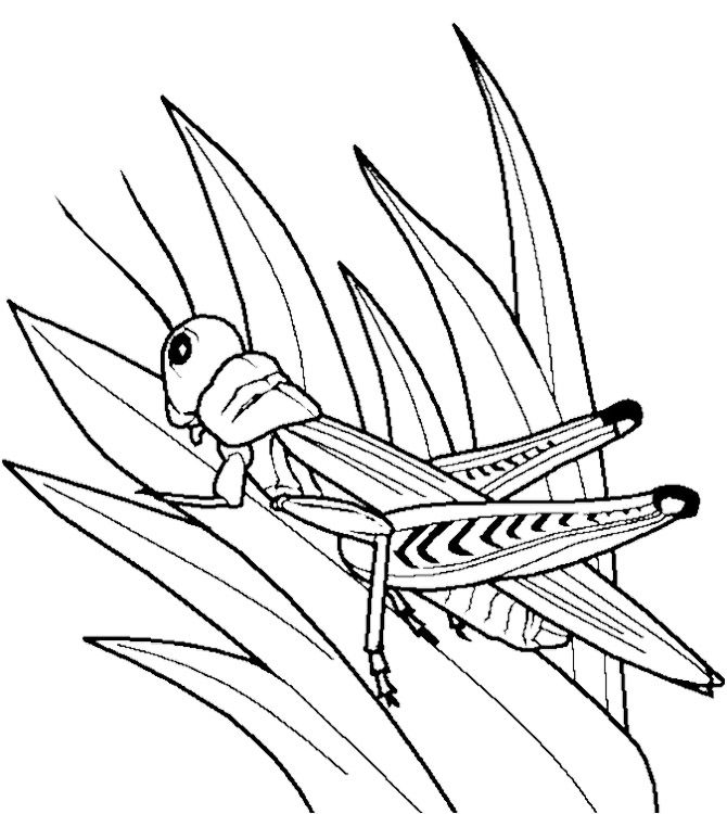 grasshopper coloring page -