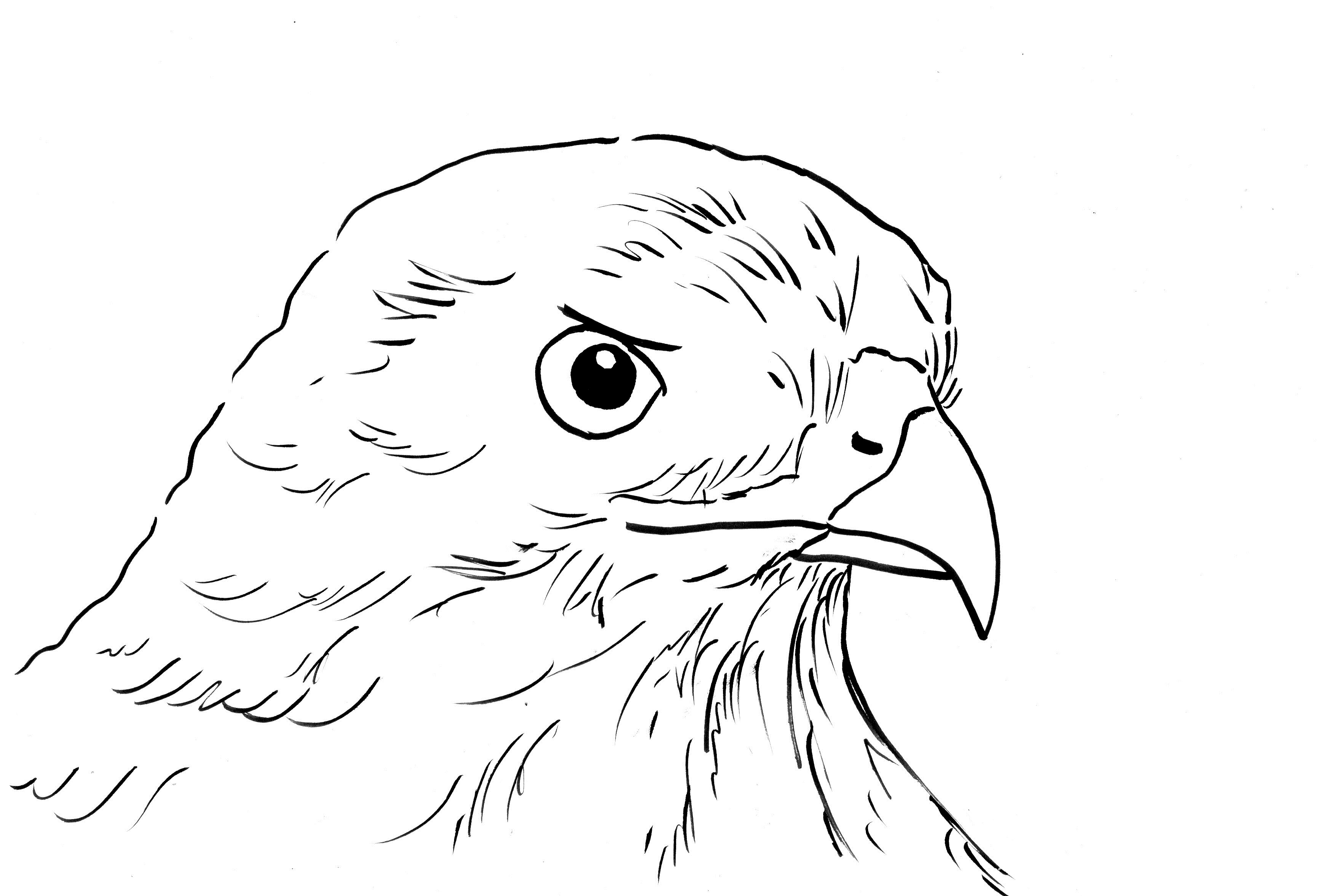 hawk coloring pages - hawk coloring page
