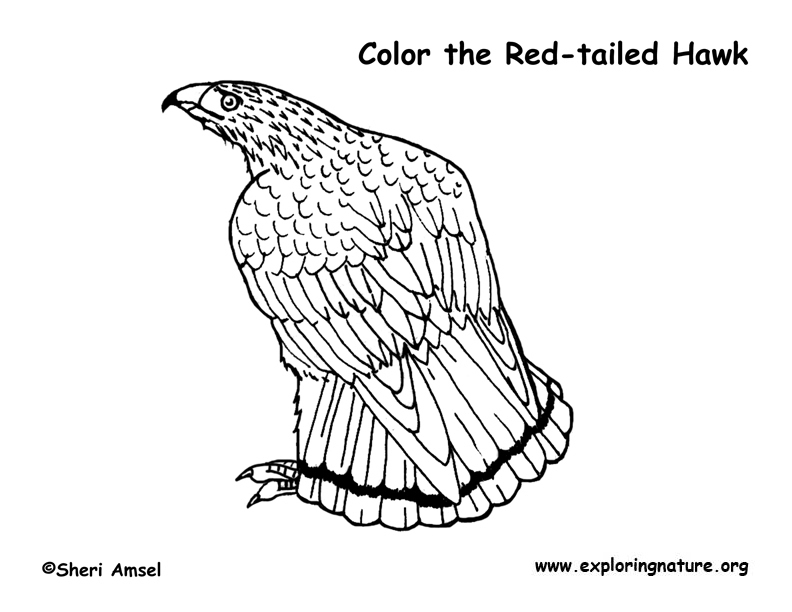 20 Hawk Coloring Pages Images | FREE COLORING PAGES - Part 3