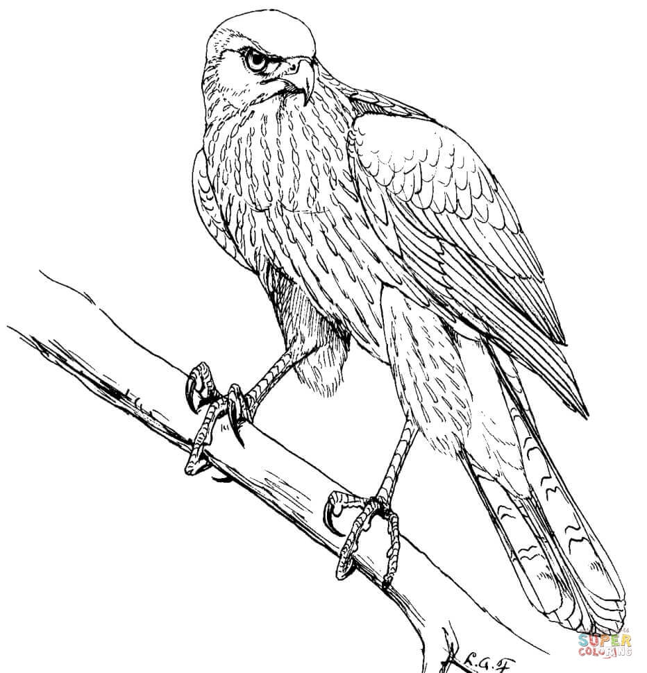 hawk coloring pages - hawk coloring pages