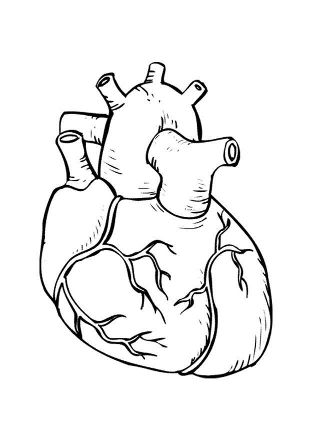 human heart coloring pages - q=human heart and lungs