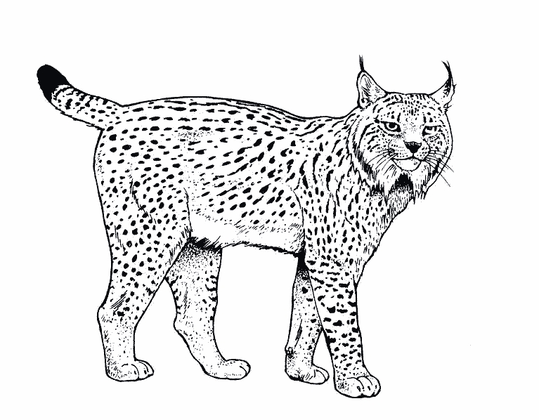 leopard coloring pages - 2