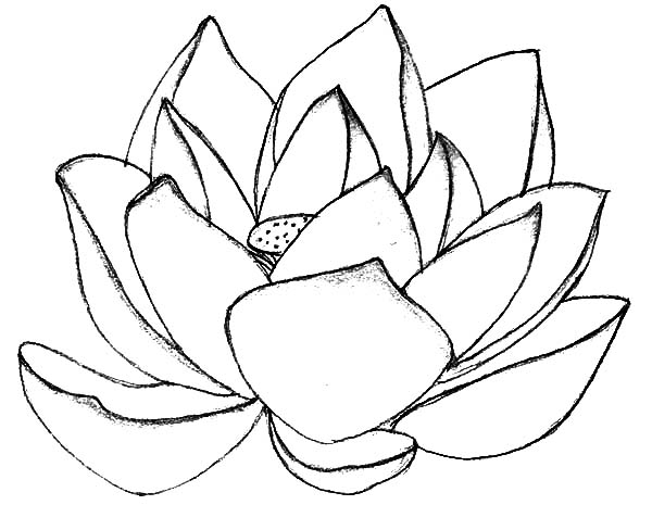 lotus flower coloring page - lotus flower in blossom coloring pages