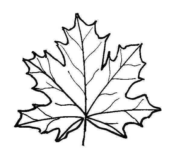 maple leaf coloring page - maple leaf coloring