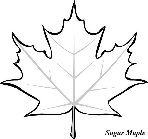 maple leaf coloring page - picture of maple leaf to color