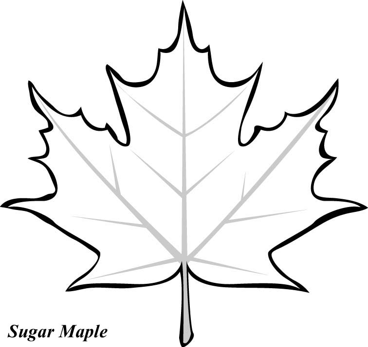 maple leaf coloring page - sugar maple coloring page sketch templates