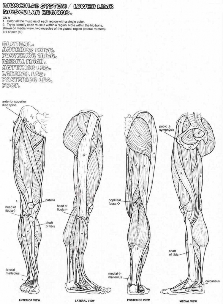 Muscle Coloring Pages - Anatomy Coloring Pages Muscles Human Anatomy Diagram