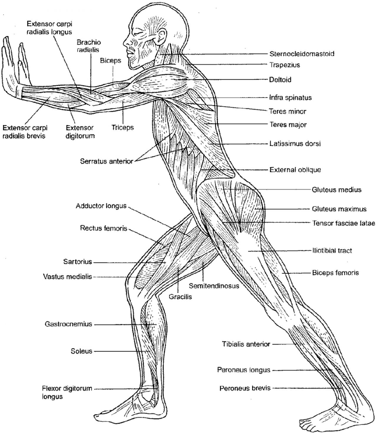muscle coloring pages - muscle coloring page