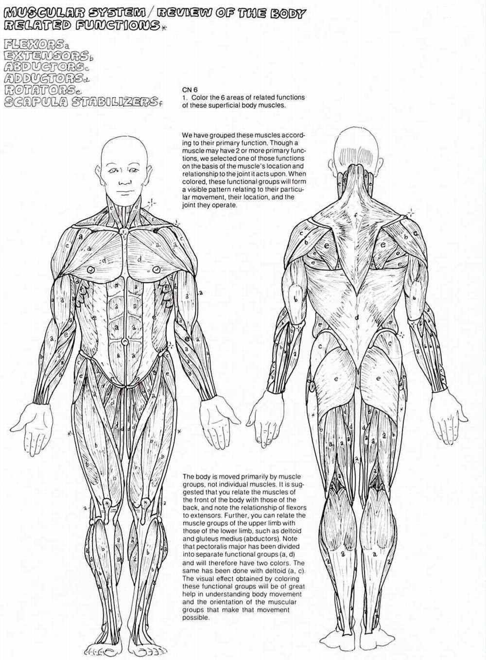 muscle coloring pages - muscular system coloring pages